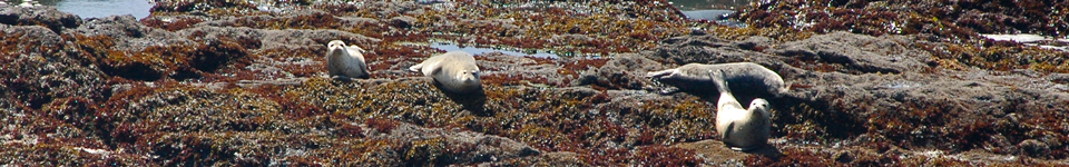 MendocinoFun.com: Harbor Seals near MacKerricher