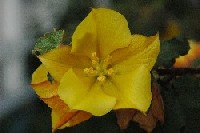 Yellow Flower from Flannel Bush (?)