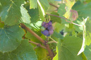 Pinot Noir Grapes Left on the Vine