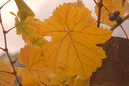 Bright Yellow Leaf