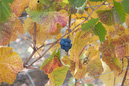 Colorful Grapes and Leaves