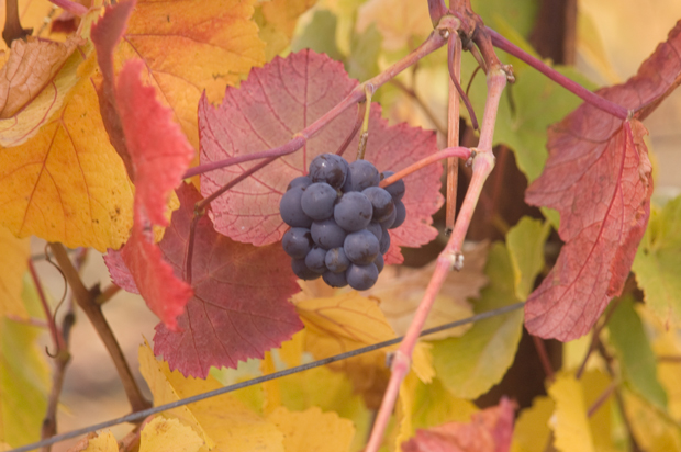 Pinot noir grapes among the fall colors