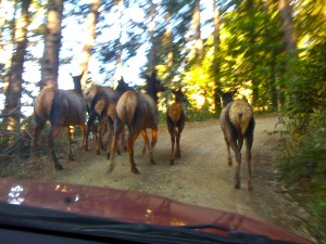 Elk Herd in Sinkyone Wilderness on Lost Coast