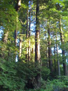 redwoods-at-gualala.jpg